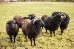 Una ram nera e gregge delle pecore Fotografie Stock