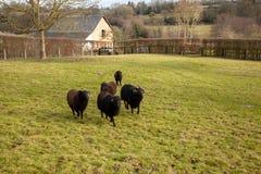 Una ram nera e gregge delle pecore Immagini Stock Libere da Diritti