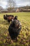 Una ram nera e gregge delle pecore Fotografia Stock
