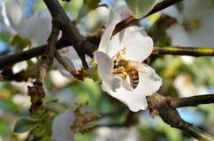 Una rama con una flor en la cual la abeja se sienta Imagen de archivo