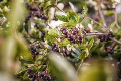 Una rama con las bayas de Aronia Fotografía de archivo libre de regalías