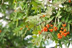 Una rama con las bayas de serbal naranja-rojas brillantes rodeó las hojas verdes Imagenes de archivo