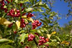 Una rama con las frutas y las semillas del europaeus del Euonymus Fotos de archivo