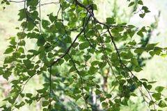 Una rama con las hojas verdes frescas del abedul Fotos de archivo