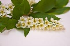 Una rama de una cereza de p?jaro floreciente imagen de archivo libre de regalías