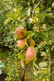 Una rama de una cosecha de la pera Foto de archivo libre de regalías