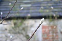 Una rama de florecimiento blanca temprana fotos de archivo libres de regalías
