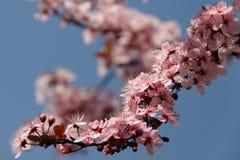 Una rama de la cereza rosada florece en la primavera Fotografía de archivo