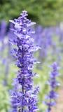 Una rama de la flor de la lavanda de Pale Tint Of Violet Blossom Fotos de archivo