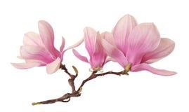 Una rama de la flor de la magnolia foto de archivo libre de regalías