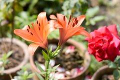 Una rama de la flor de los radicans de Campsis de la enredadera de la vid de trompeta o de trompeta, conocida como picor de la va fotografía de archivo