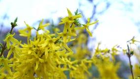 Una rama de la forsythia con pequeños alborotos amarillos de las flores en viento ligero de la primavera contra el cielo azul metrajes