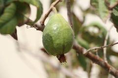Una rama de la granada Foto de archivo libre de regalías