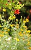 Una rama de la granada roja florece en un campo Foto de archivo libre de regalías