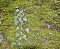 Una rama de la hiedra Imagenes de archivo