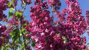 Una rama de la lila contra el cielo metrajes
