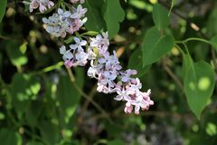 Una rama de la lila en la lucha para su vida y la planta entera foto de archivo libre de regalías