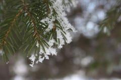 Una rama de la picea en la nieve Imagenes de archivo