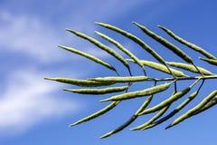 Una rama de la rabina, con las vainas llenas de habas, contra un fondo del cielo azul foto de archivo