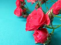 Una rama de la rosa roja Fotos de archivo libres de regalías
