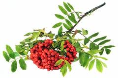 Una rama de las bayas y de las hojas rojas de serbal Fotos de archivo libres de regalías