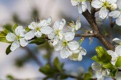 Una rama de las flores de cerezo Foto de archivo libre de regalías