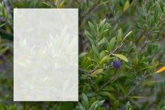 Una rama de olivo con las aceitunas Foco suave Rama de olivo y fondo borroso Maqueta transparente para el contenido Copie el espa imágenes de archivo libres de regalías
