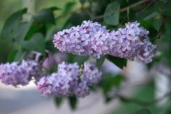 Una rama de sirenas en un árbol en un parque Flores hermosas del árbol de la lila en la primavera Fondo Fotos de archivo libres de regalías
