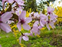 Una rama de un árbol de almendra en la floración Foto de archivo libre de regalías