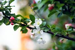 Una rama de un árbol blanco floreciente Foto de archivo