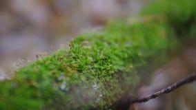 Una rama de un árbol cubierto con el musgo verde bosque del otoño, tiroteo a cámara lenta tiro del synematics metrajes