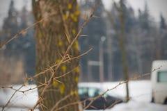 Una rama de un arbusto con las agujas, invierno y nieve Imágenes de archivo libres de regalías