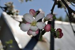 Una rama de un manzano floreciente de la primavera Imagenes de archivo