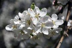 Una rama de un manzano floreciente de la primavera Foto de archivo libre de regalías