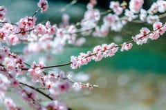 Una rama de un ?rbol floreciente con las flores blancas fotografía de archivo