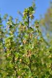 Una rama de una grosella espinosa floreciente con los jóvenes se va en DA soleada Imagen de archivo