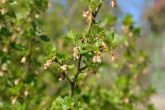 Una rama de una grosella espinosa floreciente con los jóvenes se va en DA soleada Fotografía de archivo
