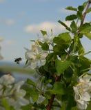Una rama de una manzana floreciente Imagen de archivo libre de regalías