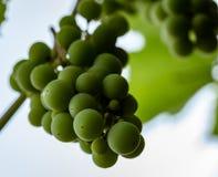 Una rama de uvas en el jardín imagenes de archivo