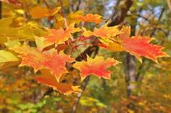 Una rama del árbol de arce con las hojas amarillas Fotografía de archivo libre de regalías