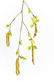 Una rama del abedul con los pendientes y las hojas de los jóvenes Fotografía de archivo libre de regalías