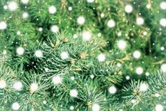 Una rama del cierre del árbol de pino para arriba Fotografía de archivo libre de regalías