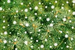 Una rama del cierre del árbol de pino para arriba Imagen de archivo