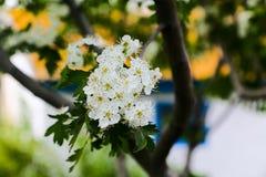 Una rama del espino con las flores blancas Primavera, pueblo foto de archivo