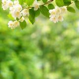 Una rama del jazmín floreciente en un fondo verde Espacio libre para el texto Fotografía de archivo libre de regalías