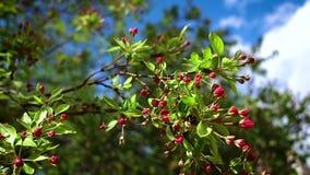 Una rama del manzano con oscilaciones rojas de los brotes en primavera ligera almacen de video