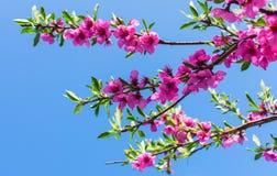 Una rama del melocotón de florecimiento contra un cielo azul imagen de archivo