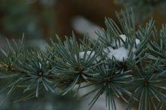 Una rama del pino con algo de nieve Imagen de archivo libre de regalías