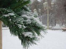 Una rama del pino durante nevadas Fotos de archivo libres de regalías