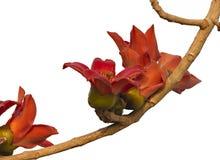 Una rama del árbol de ceiba floreciente del Bombax o de la flor roja del algodón de seda Imagen de archivo